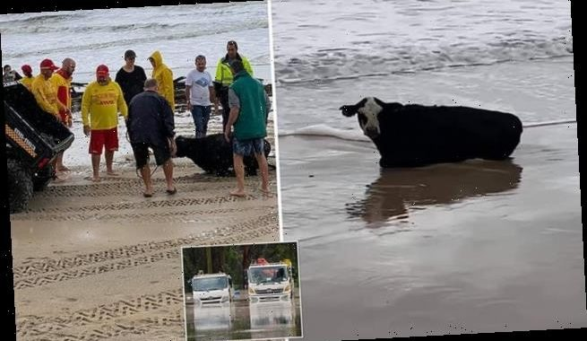 Shocking moment a cow washes up on beach during horrific NSW storm
