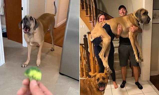 Great Dane that was bought as a guard dog is terrified of EVERYTHING