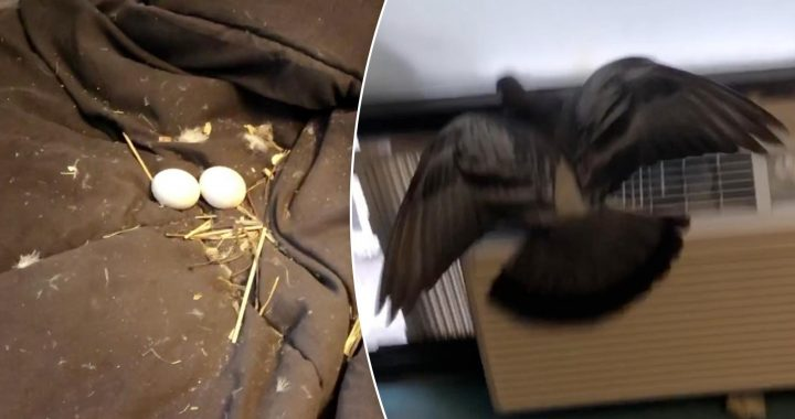 Pigeon breaks into NYC apartment, lays eggs on bed and now lives in window