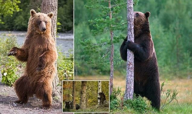 Brown bears that 'dance' against more trees have more mates