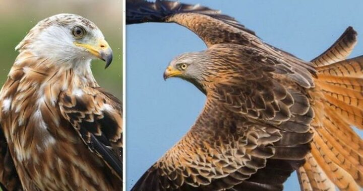 What to do if a Red Kite visits your garden – how to help these protected birds