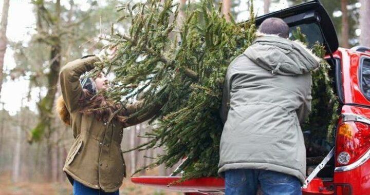 Christmas tree warning: Britons urged to 'plan ahead' with tree 'shortage' expected