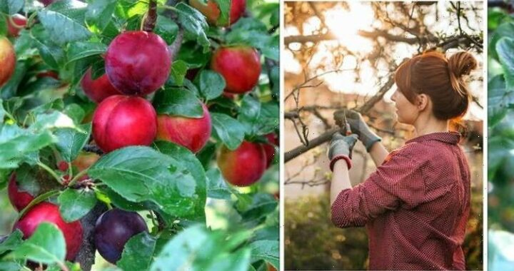 When to prune a plum tree – the KEY reason for timely pruning